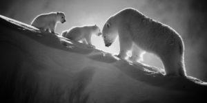 3489-polar-bear-tendresse-eternelle-sur-neige-en-sursis-baffin-island-canada-2016