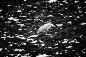 4405-polar-fox-svalbard-2014